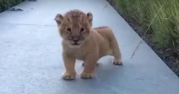 Η πρώτη κραυγή αυτού του μικρού λιονταριού είναι ό,τι πιο χαριτωμένο θα δείτε σήμερα! (Βίντεο)