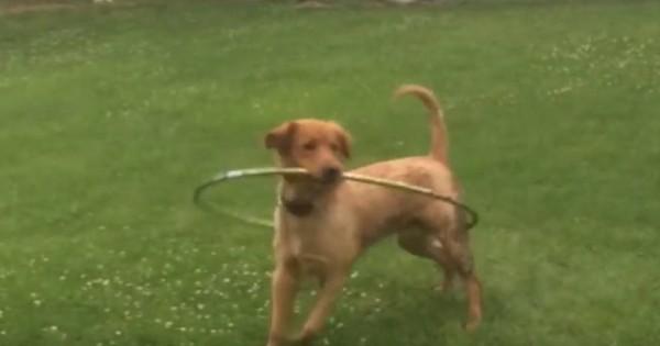 Σκύλος προσπαθεί να μάθει…χούλα χουπ (βίντεο)