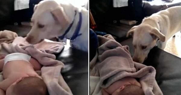 Αξιολάτρευτο λαμπραντόρ σε ρόλο «νταντάς», σκεπάζει μωράκι που κοιμάται! (Βίντεο)