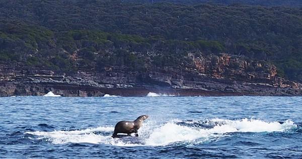 Φώκια… σερφάρει πάνω σε φάλαινα! (Εικόνες)