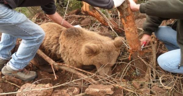Σώθηκε αρκούδα που είχε παγιδευτεί σε θηλιά