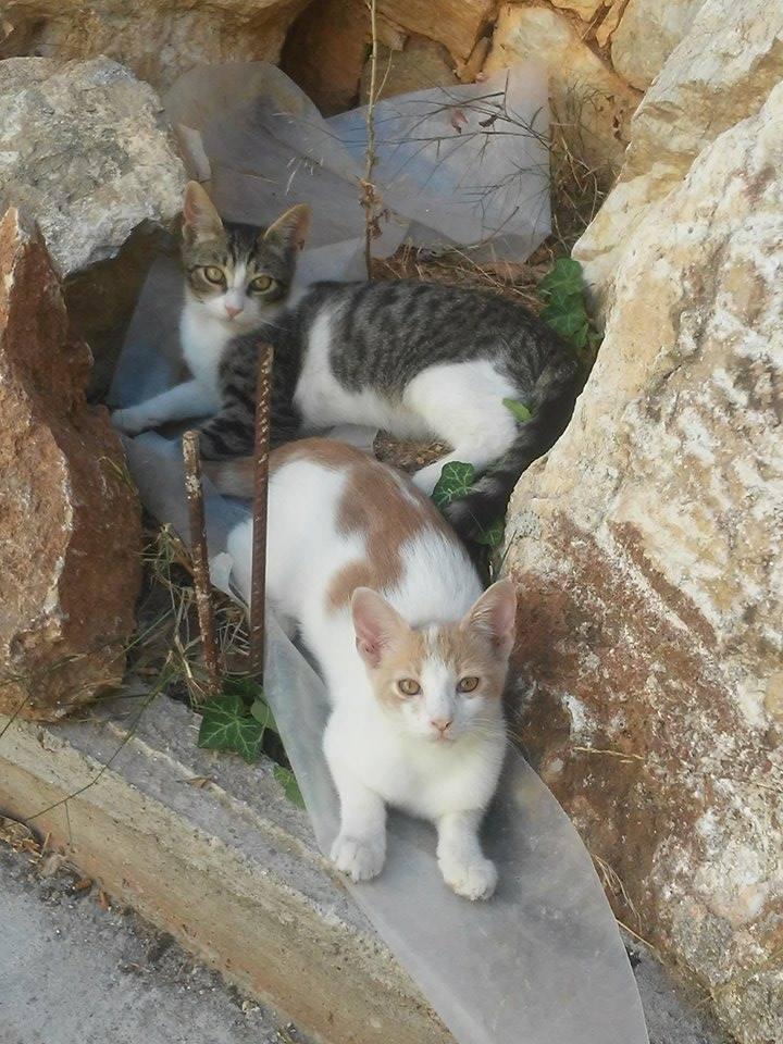 Χαρίζονται Χαρίζεται γατάκια Γάτα