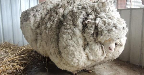 Πρόβατο με μαλλί για ρεκόρ! (Εικόνες)
