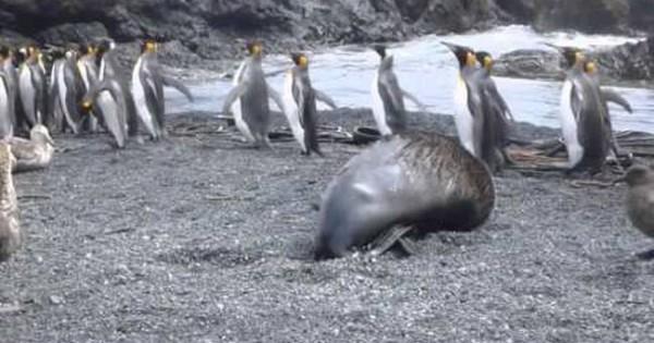 Θαλάσσιοι ελέφαντες βιάζουν πιγκουίνους στην Ανταρκτική! (Βίντεο)
