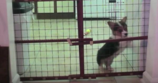 Έβαλε κάμερα για να δει επιτέλους πώς δραπετεύει το μικρό σκυλάκι Corgi (Βίντεο)