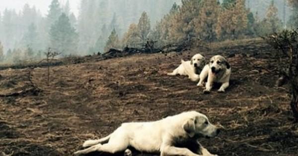 Βρήκε αυτά τα τσοπανόσκυλα μετά από μια τρομερή πυρκαγιά. Δείτε όμως τι προστάτευαν…(Εικόνα)