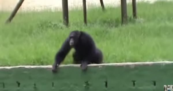 Το είδαμε και αυτό: Χιμπατζής καπνίζει σαν άνθρωπος…(βίντεο)