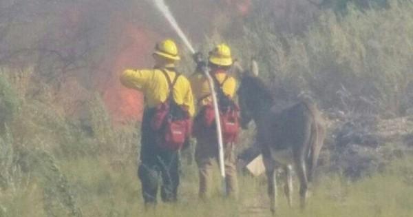 Πυροσβέστες έσωσαν γάιδαρο από πυρκαγιά και εκείνος μετά δεν έφευγε από το πλευρό τους!