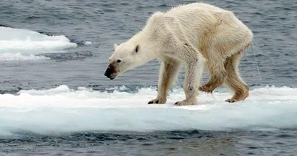 Οι πολικές αρκούδες στη Νορβηγία λιμοκτονούν (Εικόνες)