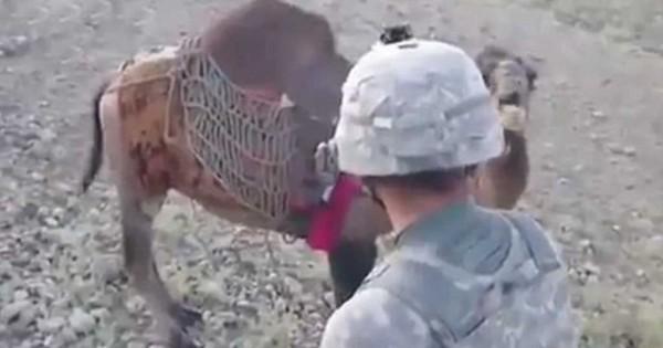 Στρατιώτης παίζει με μια καμήλα στο Αφγανιστάν και αυτή του δίνει ένα καλό μάθημα… (Βίντεο)