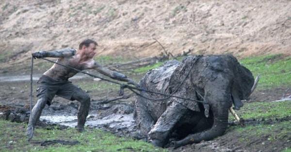 Οδηγοί σαφάρι παλεύουν να σώσουν ένα ελέφαντα κολλημένο για 4 ημέρες στη λάσπη (Εικόνες)