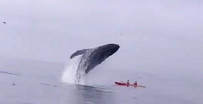 Μεγάπτερη φάλαινα πέφτει πάνω σε καγιάκ (Βίντεο)