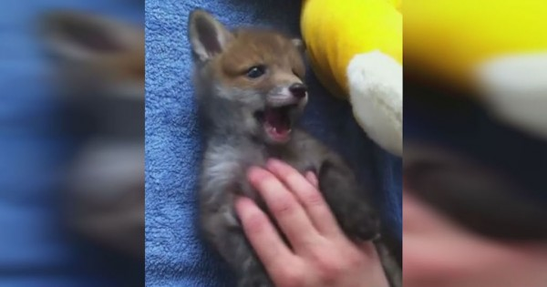 Αυτό το μικρό αλεπουδάκι τρελαίνεται όταν του τρίβουν την κοιλίτσα! (Βίντεο)