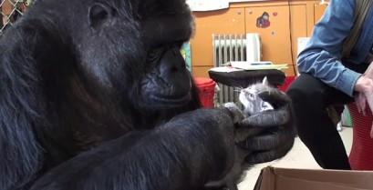 Η Koko ο γορίλας συνταντά μικρά γατάκια (Βίντεο)