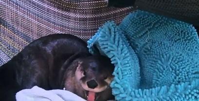 Το ξύπνημα της βίδρας (Βίντεο)