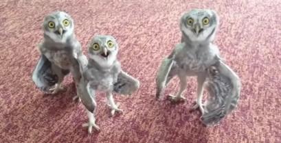 Τρεις κουκουβάγιες τραγουδούν ραπ (Βίντεο)