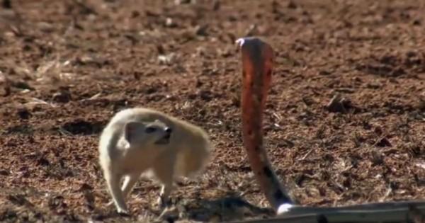 «Μαγκούστα»: Το χαριτωμένο «σκιουράκι» που έχει χαρακτηριστεί ως ο εκτελεστής της κόμπρας. Δείτε γιατί (Βίντεο)
