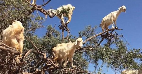 Τα διάσημα κατσίκια-αναρριχητές του Μαρόκου (Εικόνες-Βίντεο)