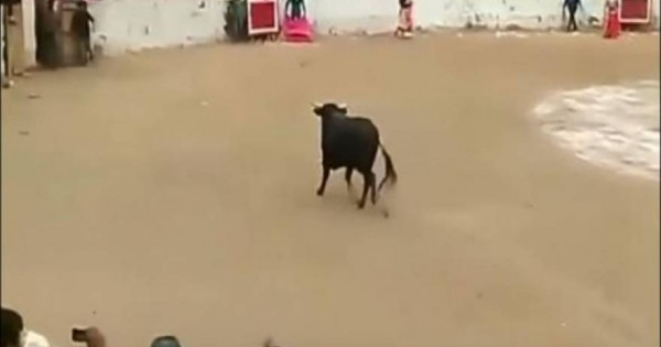 Tαύρος ανέβηκε στην εξέδρα και επιτέθηκε στους θεατές (video)