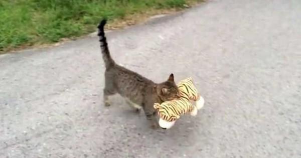 Γάτα κλέβει λούτρινη τίγρη από τον γείτονα και την πάει σπίτι της! (Βίντεο)