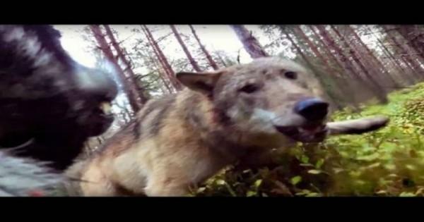 GoPro κάμερα καταγράφει τη μάχη ενός σκύλου με δύο λύκους (Βίντεο)