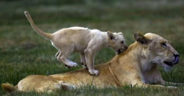 Κινδυνεύουν με εξαφάνιση τα λιοντάρια της Αφρικής