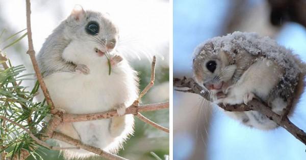 Αυτά τα ιπτάμενα σκιουράκια είναι ίσως τα πιο γλυκά ζωάκια στον πλανήτη! (Φωτογραφίες)