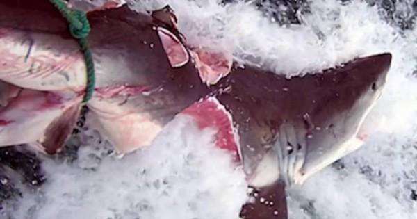 Τρομερό: Αυτό το πλάσμα δάγκωσε και έκοψε στα δύο λευκό καρχαρία (vid)