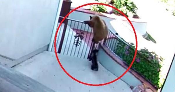 Μικρό μπουλντόγκ παίρνει στο κυνήγι δύο αρκούδες που προσπαθούν να μπουν στο σπίτι του αφεντικού του! (Βίντεο)