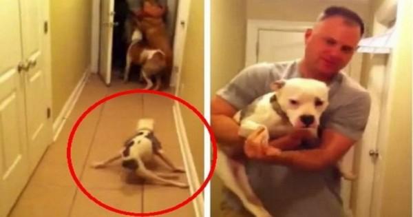 Αυτό το πίτμπουλ γεννήθηκε διαφορετικό αλλά δείτε τι κάνει όταν βλέπει τον ιδιοκτήτη του. (Βίντεο)