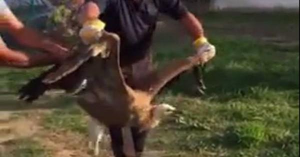 Μοναδικό – Γυπαετός προσγειώθηκε σε παιδική χαρά της Κρήτης και οι κάτοικοι τον τάισαν… μπριζόλες! [βίντεο]