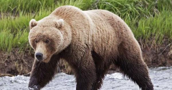 Κυνηγός σώθηκε από τις ορέξεις μιας αρκούδας χάρη στη συμβουλή της… γιαγιάς του!