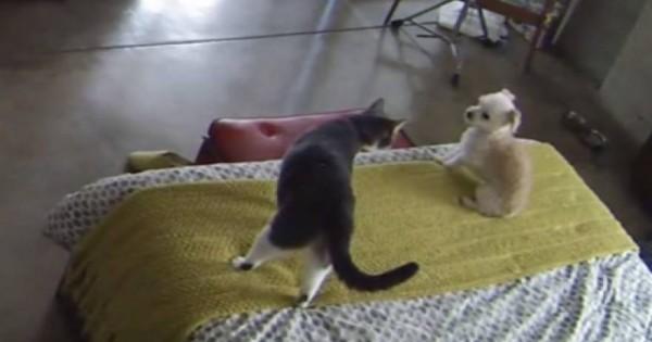 Μία δυναμική γάτα κάνει επίδειξη ισχύος…σε κουτάβι (βίντεο)
