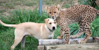 Ένα τσιτάχ και ένας σκύλος γίνοτναι οι καλύτεροι φίλοι (Βίντεο)