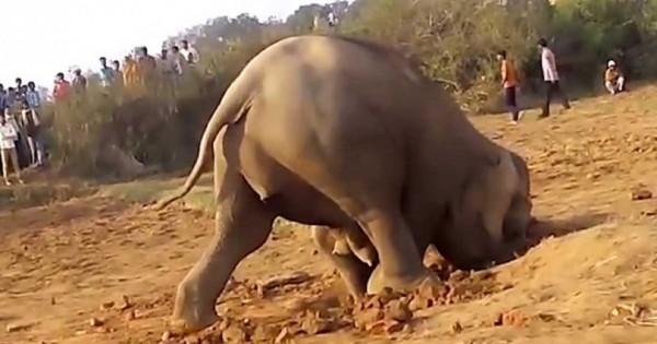 Ελέφαντας έσκαβε για 11 ώρες μια τρύπα για να απεγκλωβίσει το μικρό του! (Βίντεο)