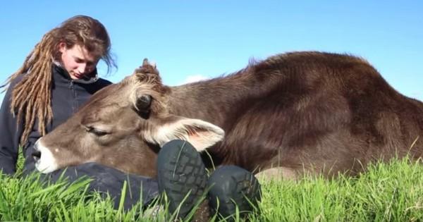 Αυτός ο ταύρος κουλουριάζεται με το αγαπημένο του άτομο όπως ακριβώς θα έκανε και ένα σκυλάκι! (Βίντεο)