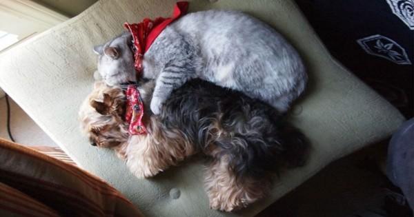 20 φωτογραφίες που αποδεικνύουν ότι μια γάτα και ένας σκύλος μπορεί να είναι κάτι παραπάνω από φίλοι (Εικόνες)