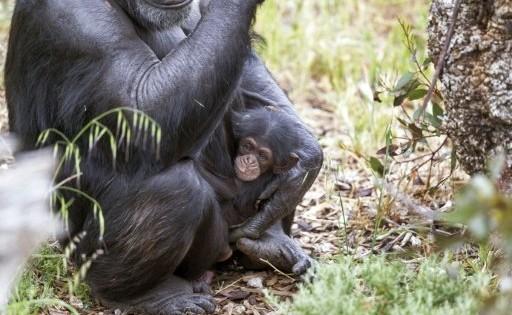 Χιμπαντζής που κυοφορεί «υιοθέτησε» μικρό που έμεινε ορφανό