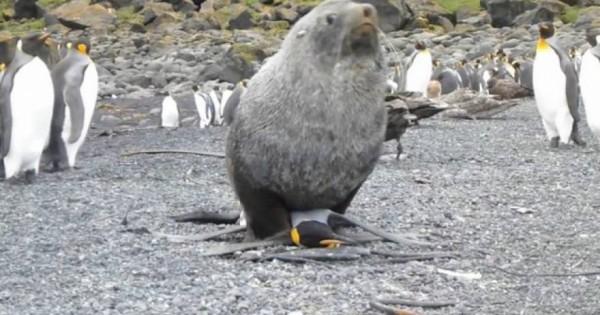 Σαστισμένοι οι επιστήμονες έβλεπαν φώκια να…βιάζει πιγκουίνο! (Βίντεο)