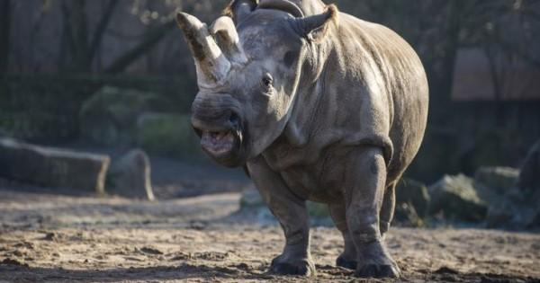 Πέθανε ο τελευταίος λευκός ρινόκερος του Βορρά (Βίντεο)