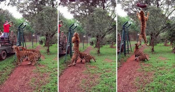 Εκπληκτικό άλμα τίγρης σε αργή κίνηση (Video)