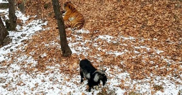 Η τίγρη που έγινε φίλη με το… γεύμα της (Βίντεο)