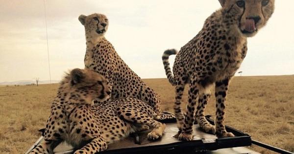 Η εκπληκτική συνάντηση με οικογένεια τσιτάχ στην Κένυα (Εικόνες)