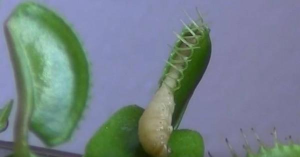 Δείτε πως ένα σαρκοφάγο φυτό κατασπαράζει μια κάμπια (βίντεο)