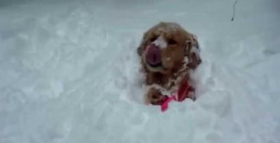 Σκύλοι στο χιόνι (Βίντεο)