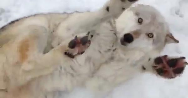 Θα σας πέσει το σαγόνι με αυτόν το λύκο! (βίντεο)