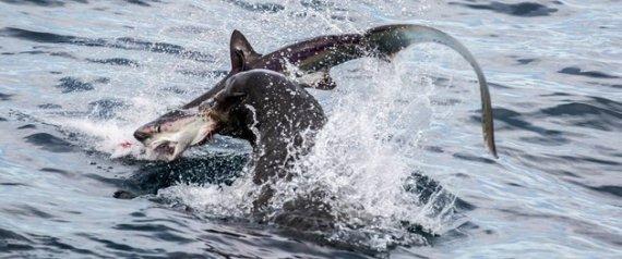 Άνιση μάχη: Θαλάσσιος λέων κατασπαράζει μικρό καρχαρία (Εικόνες)