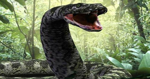 MEDUSA: Το μεγαλύτερο φίδι στον κόσμο που ζει σε αιχμαλωσια (Βίντεο)
