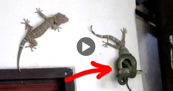 Ένα φίδι ετοιμάζεται να πνίξει μια σαύρα. ΠΡΟΣΕΞΤΕ τι κάνει ο φίλος της! (Βίντεο)