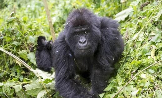 Απίστευτες φωτογραφίες από τη ζούγκλα του Κονγκό, το σπίτι του ασημόραχου γορίλα